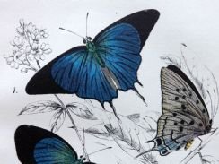 17th April 2019. Lloyd Butterfly & Moth Prints